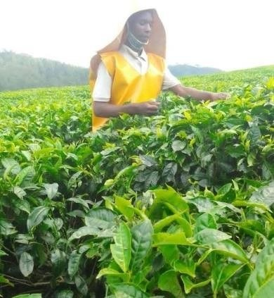 Alfred working at the tea plantation